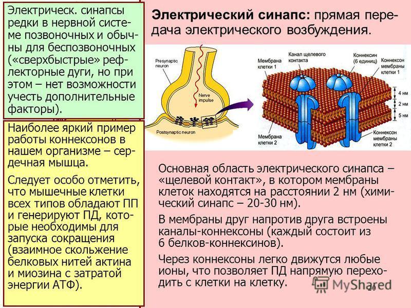 20 хими- ческий синапс: передача сигнала идет за счет вы- деления медиа- тора Основная область электрического синапса – «щелевой контакт», в котором мембраны клеток находятся на расстоянии 2 нм (хими- ческий синапс – 20-30 нм). В мембраны друг напрот