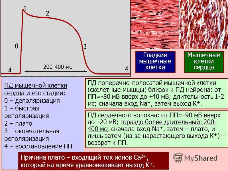 21 Электрическ. синапсы редки в нервной систе- ме позвоночных и обыч- ны для беспозвоночных («сверхбыстрые» реф- лекторные дуги, но при этом – нет возможности учесть дополнительные факторы). Наиболее яркий пример работы коннексонов в нашем организме