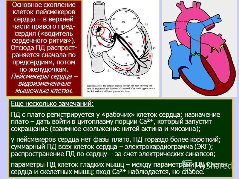 23 Еще несколько замечаний: ПД с плато регистрируется у «рабочих» клеток сердца; назначение плато – дать войти в цитоплазму порции Са 2+, который запустит сокращение (взаимное скольжение нитей актина и миозина); у пейсмекеров сердца нет фазы плато, П