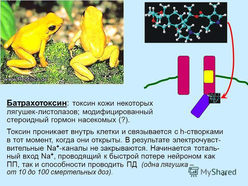 26 Батрахотоксин: токсин кожи некоторых лягушек-листолазов; модифицированный стероидный гормон насекомых (?). Токсин проникает внутрь клетки и связывается с h-створками в тот момент, когда они открыты. В результате электрочувст- вительные Na + -канал