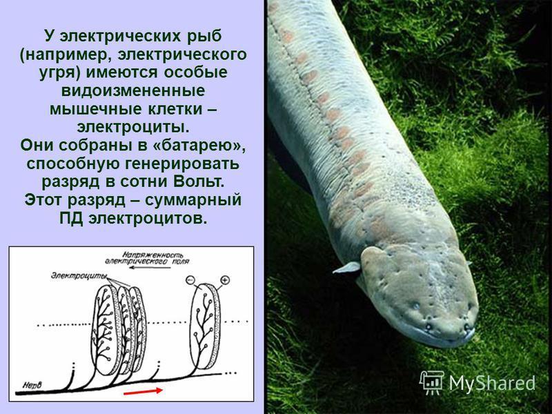 27 У электрических рыб (например, электрического угря) имеются особые видоизмененные мышечные клетки – электроциты. Они собраны в «батарею», способную генерировать разряд в сотни Вольт. Этот разряд – суммарный ПД электроцитов.