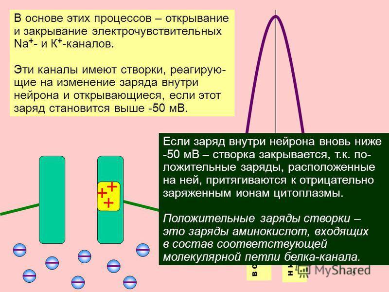 55 В основе этих процессов – открывание и закрывание электро чувствуетельных Na + - и К + -каналов. Эти каналы имеют створки, реагирующие на изменение заряда внутри нейрона и открывающиеся, если этот заряд становится выше -50 мВ. Восходящая фаза (деп