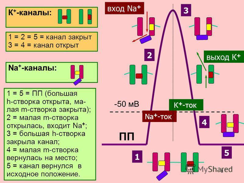 88 Именно разная скорость открытия Na + -каналов и К + -каналов позволяет возникнуть сначала восходящей, а затем – нисходящей фазе ПД. (сначала ионы Na + вносят в нейрон положительный заряд, а затем ионы К + выносят его, возвращая клетку в исходное с