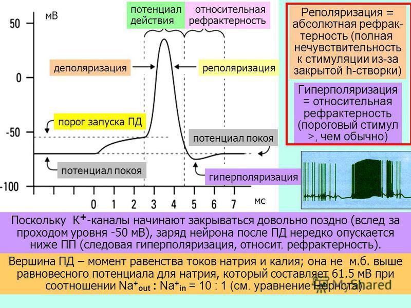 99 Поскольку К + -каналы начинают закрываться довольно поздно (вслед за проходом уровня -50 мВ), заряд нейрона после ПД нередко опускается ниже ПП (следовая гиперполяризация, относит. рефрактерность ). мВ мс Вершина ПД – момент равенства токов натрия