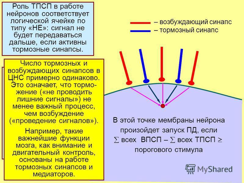 20 В этой точке мембраны нейрона произойдет запуск ПД, если всех ВПСП – всех ТПСП порогового стимула – возбуждающий синапс – тормозный синапс Параметры ТПСП близки к ВПСП: длит-ть 10-20 мс; амплитуда 5-10 мВ. ТПСП взаимо- действуют с ВПСП по принципу