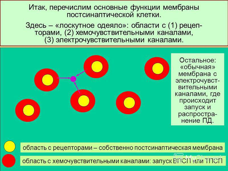 23 Итак, перечислим основные функции мембраны пост сынаптической клетки. Здесь – «лоскутное одеяло»: области с (1) рецеп- торами, (2) хемочувствительными каналами, (3) электрочувствительными каналами. область с рецепторами – собственно пост сынаптиче