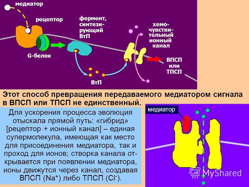 29 реакции нейрона G-белок медиатор рецептор G-белок медиатор рецептор фермент, синтези- рующий ВтП хемо- чувстви- тельный ионный канал ВПСП или ТПСП Этот способ превращения передаваемого медиатором сигнала в ВПСП или ТПСП не единственный. Для ускоре