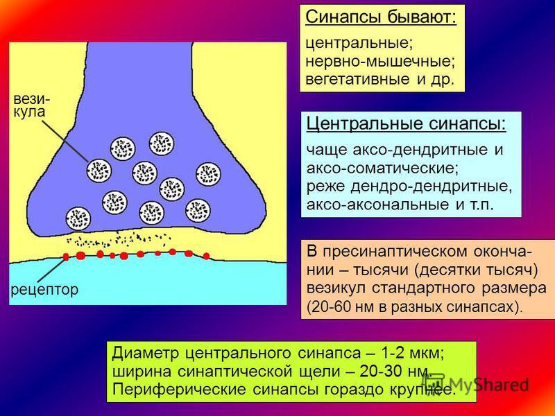 3 Синапсы бывают: центральные; нервно-мышечные; вегетативные и др. Центральные синапсы: чаще аксо-дендритные и аксо-соматические; реже дендро-дендритные, аксо-аксональные и т.п. везикула рецептор В пресинаптичешском окончании – тысячи (десятки тысяч)