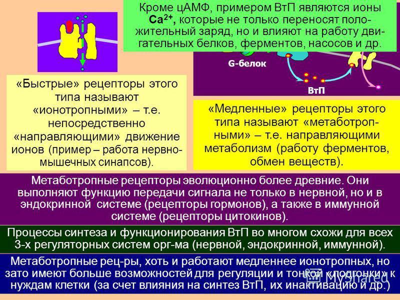 30 реакции нейрона G-белок медиатор рецептор G-белок ВтП Для ускорения процесса эволюция отыскала прямой путь: «гибрид» [рецептор + ионный канал] – единая супермолекула, имеющая как место для присоединения медиатора, так и проход для ионов; створка к