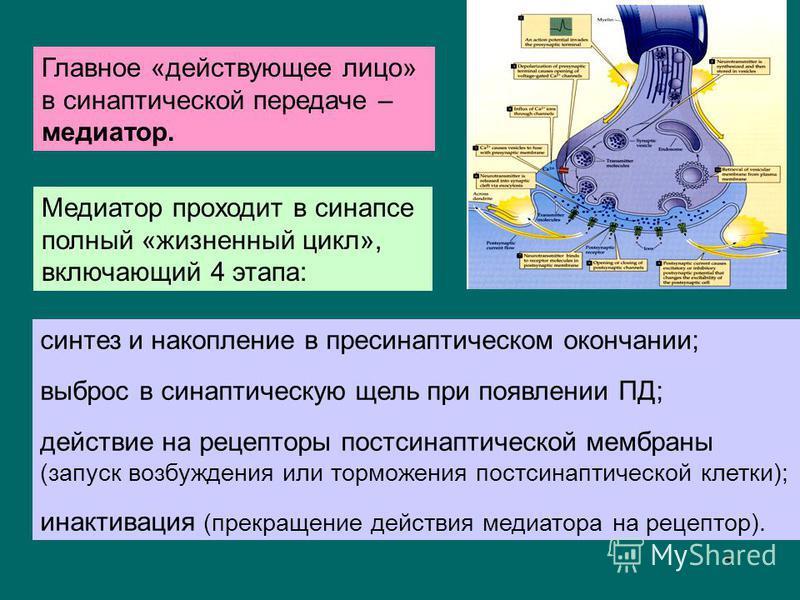 5 Главное «действующее лицо» в синаптической передаче – медиатор. синтез и накопление в пресинаптичешском окончании; выброс в синаптичешскую щель при появлении ПД; действие на рецепторы пост сынаптической мембраны (запуск возбуждения или торможения п