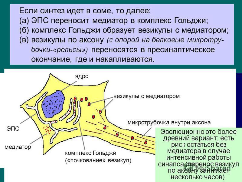 7 синтез и накопление в пресинаптичешском окончании; выброс в синаптичешскую щель при появлении ПД; действие на рецепторы пост сынаптической мембраны (запуск активации либо торможения пост сынаптической клетки); инактивация (прекращение действия меди