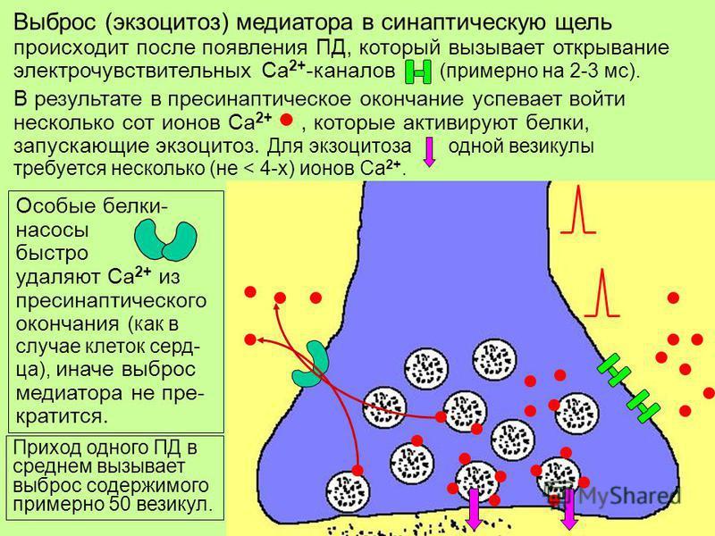 9 Выброс (экзоцитоз) медиатора в синаптичешскую щель происходит после появления ПД, который вызывает открывание электрочувствительных Са 2+ -каналов (примерно на 2-3 мс). Особые белки- насосы быстро удаляют Са 2+ из пресинаптическойого окончания (как