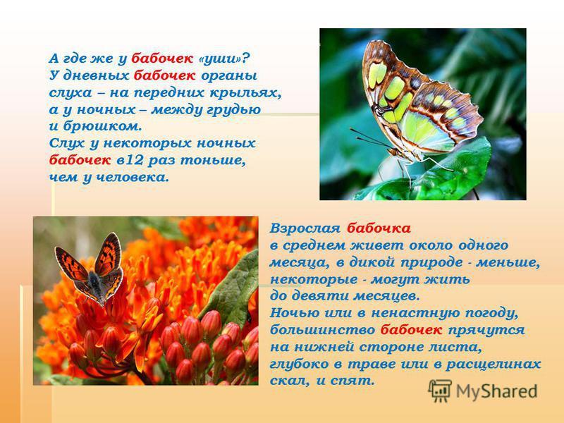 Взрослая бабочка в среднем живет около одного месяца, в дикой природе - меньше, некоторые - могут жить до девяти месяцев. Ночью или в ненастную погоду, большинство бабочек прячутся на нижней стороне листа, глубоко в траве или в расщелинах скал, и спя