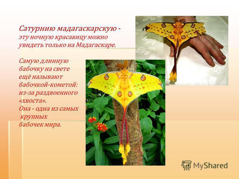 Сатурнию мадагаскарскую - эту ночную красавицу можно увидеть только на Мадагаскаре. Самую длинную бабочку на свете ещё называют бабочкой-кометой: из-за раздвоенного «хвоста». Она - одна из самых крупных бабочек мира.