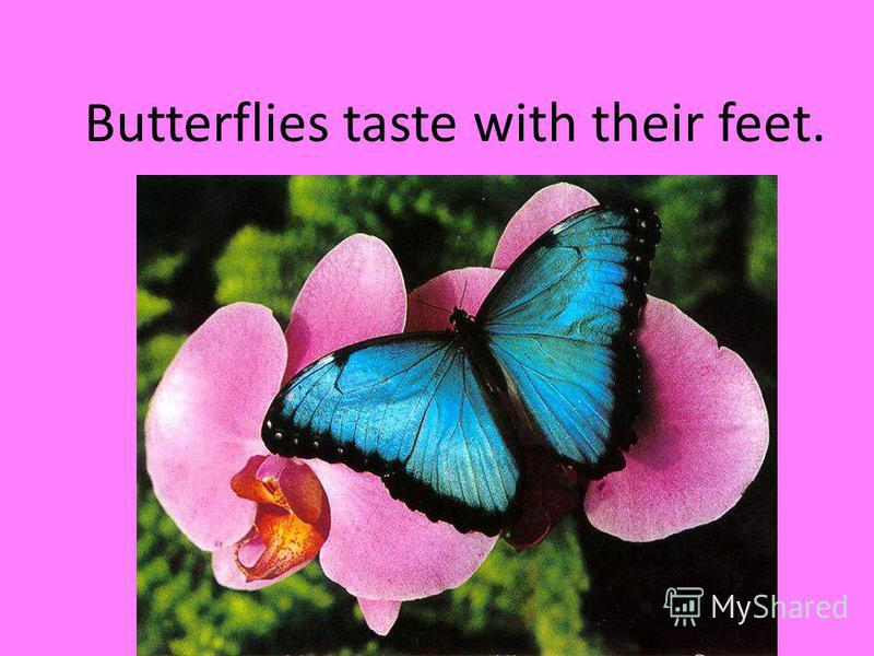 Butterflies taste with their feet.