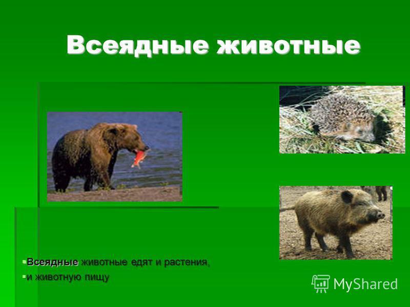Всеядные животные Всеядные животные Всеядные животные едят и растения, Всеядные животные едят и растения, и животную пищу и животную пищу