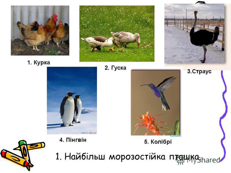 1. Найбільш морозостійка пташка. 1. Курка 3.Страус 4. Пінгвін 2. Гуска 5. Колібрі