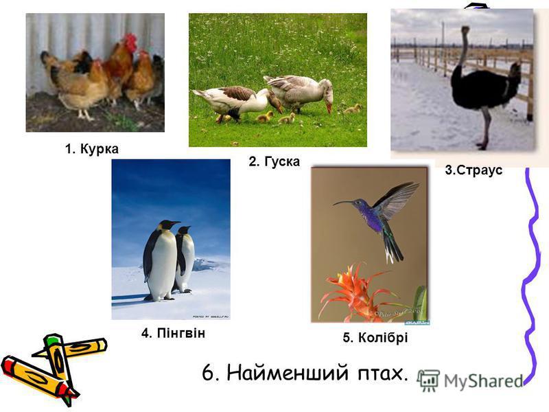6. Найменший птах. 1. Курка 3.Страус 4. Пінгвін 2. Гуска 5. Колібрі