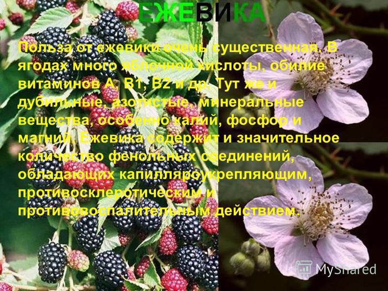 Польза от ежевики очень существенная. В ягодах много яблочной кислоты, обилие витаминов А, В1, В2 и др. Тут же и дубильные, азотистые, минеральные вещества, особенно калий, фосфор и магний. Ежевика содержит и значительное количество фенольных соедине