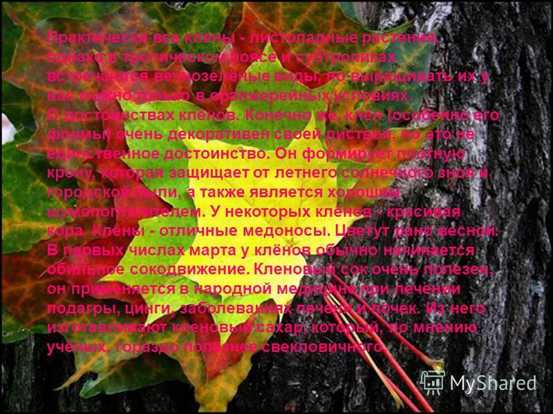 Практически все клёны - листопадные растения, однако в тропическом поясе и субтропиках встречаются вечнозелёные виды, но выращивать их у нас можно только в оранжерейных условиях. О достоинствах клёнов. Конечно же, клён (особенно его формы) очень деко
