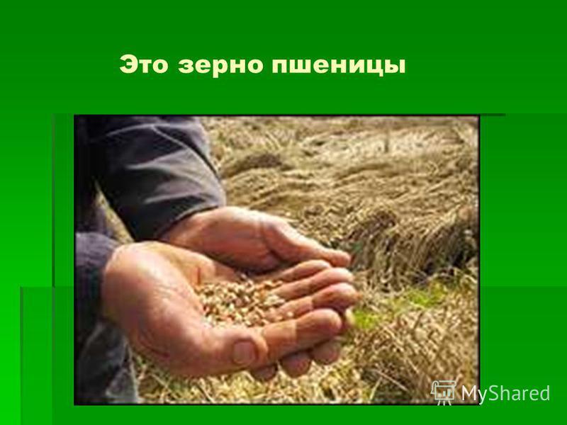 Это зерно пшеницы