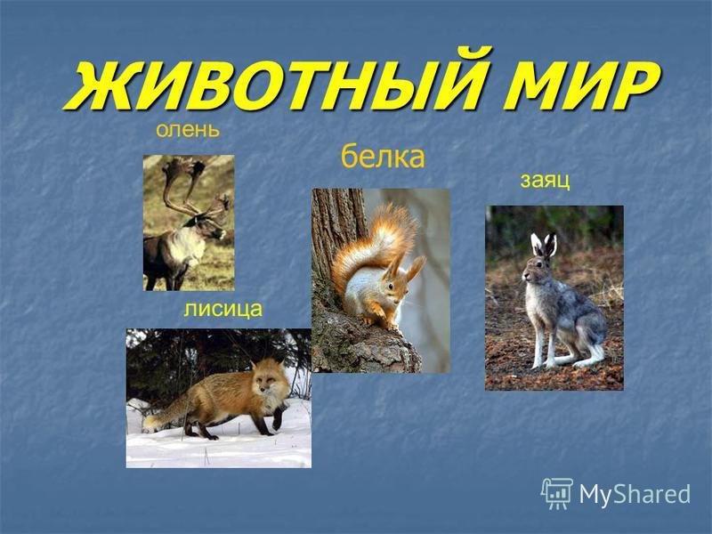 ЖИВОТНЫЙ МИР белка олень заяц лисица