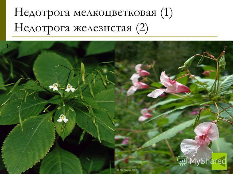 Недотрога мелкоцветковая (1) Недотрога железистая (2) 1 2