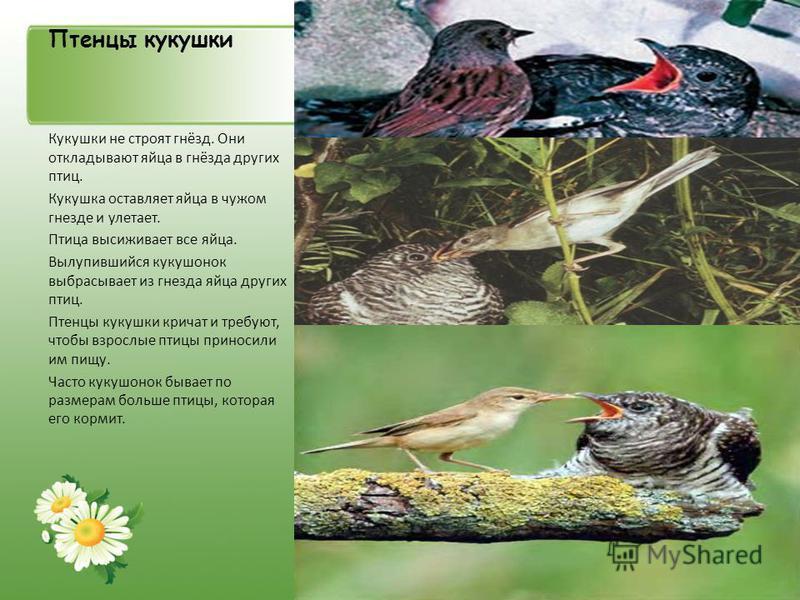 Птенцы кукушки Кукушки не строят гнёзд. Они откладывают яйца в гнёзда других птиц. Кукушка оставляет яйца в чужом гнезде и улетает. Птица высиживает все яйца. Вылупившийся кукушонок выбрасывает из гнезда яйца других птиц. Птенцы кукушки кричат и треб