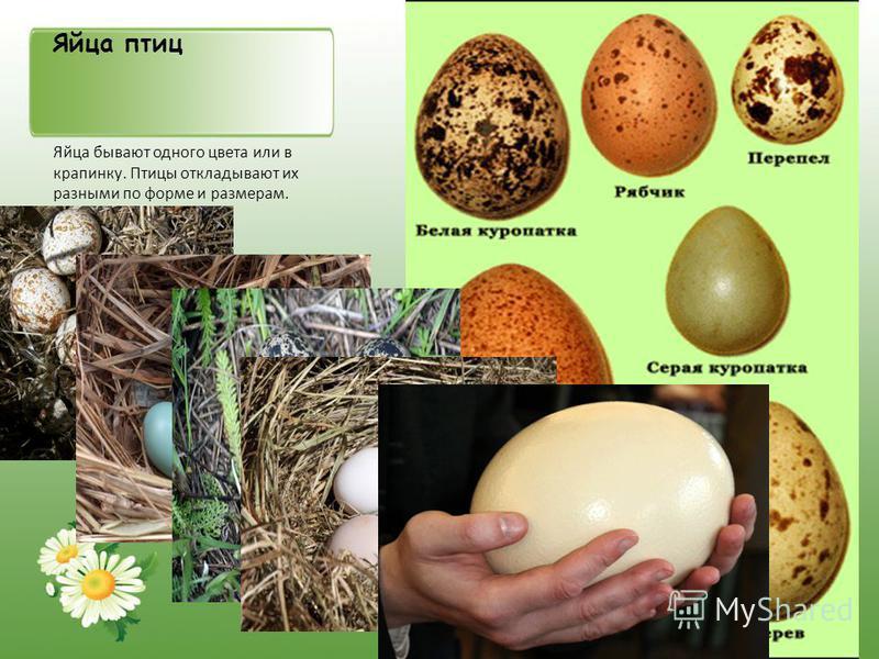 Яйца птиц Яйца бывают одного цвета или в крапинку. Птицы откладывают их разными по форме и размерам.