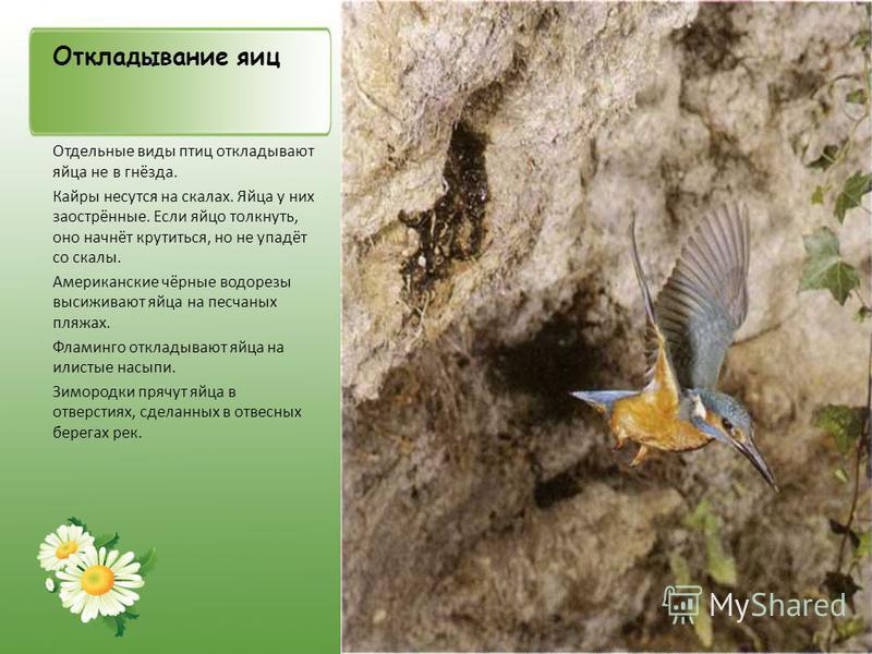 Откладывание яиц Отдельные виды птиц откладывают яйца не в гнёзда. Кайры несутся на скалах. Яйца у них заострённые. Если яйцо толкнуть, оно начнёт крутиться, но не упадёт со скалы. Американские чёрные водорезы высиживают яйца на песчаных пляжах. Флам