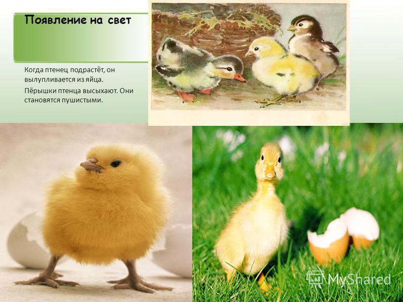 Появление на свет Когда птенец подрастёт, он вылупливается из яйца. Пёрышки птенца высыхают. Они становятся пушистыми.