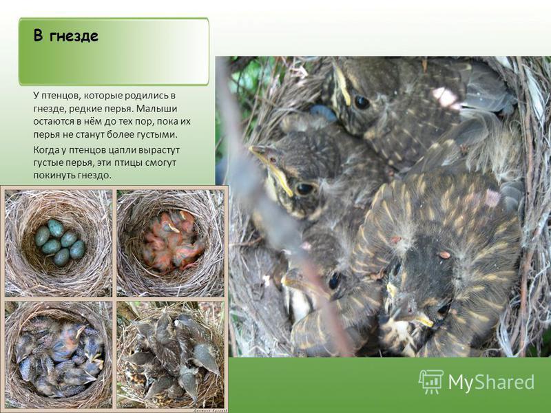 В гнезде У птенцов, которые родились в гнезде, редкие перья. Малыши остаются в нём до тех пор, пока их перья не станут более густыми. Когда у птенцов цапли вырастут густые перья, эти птицы смогут покинуть гнездо.