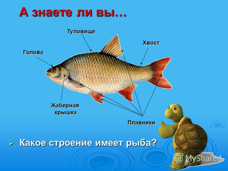 Какое строение имеет рыба? Какое строение имеет рыба? А знаете ли вы… Голова Голова Жаберная крышка Жаберная крышка Хвост Хвост Плавники Плавники Туловище Туловище