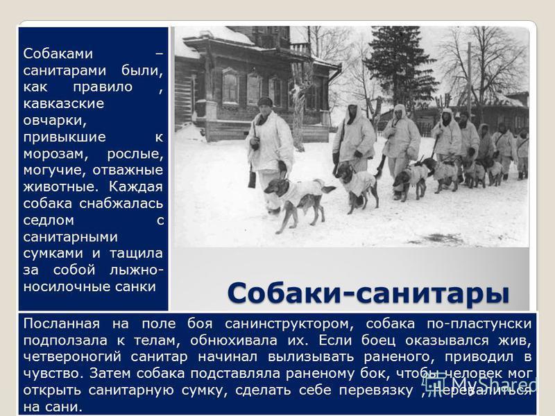 Собаки-санитары Собаками – санитарами были, как правило, кавказские овчарки, привыкшие к морозам, рослые, могучие, отважные животные. Каждая собака снабжалась седлом с санитарными сумками и тащила за собой лыжно- носилочные санки Посланная на поле бо