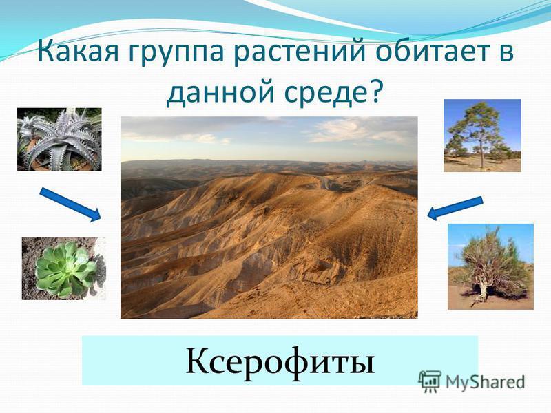 Какая группа растений обитает в данной среде? Ксерофиты