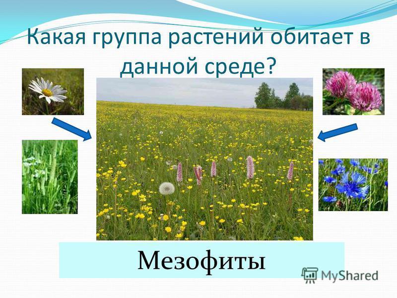 Какая группа растений обитает в данной среде? Мезофиты