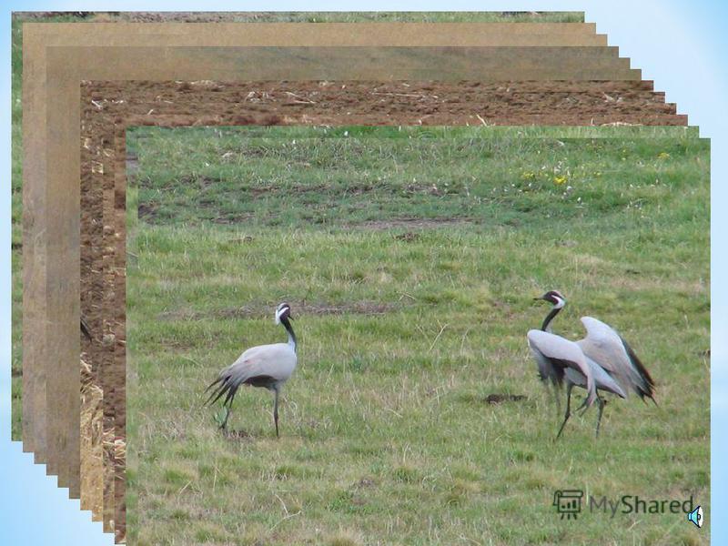 Умеренный выпас не вредит степи. Неумеренный выпас превращает степные пастбища в пустыни. На нераспаханных участках степи чаще всего пасут скот (овец).
