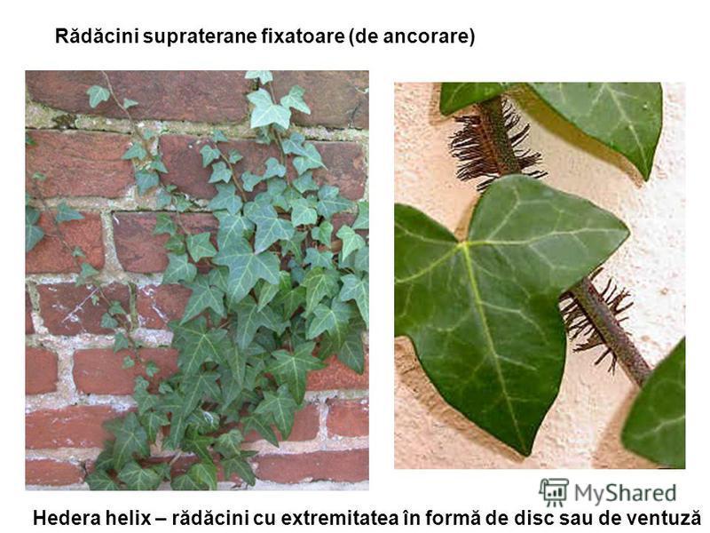 Rădăcini supraterane fixatoare (de ancorare) Hedera helix – rădăcini cu extremitatea în formă de disc sau de ventuză