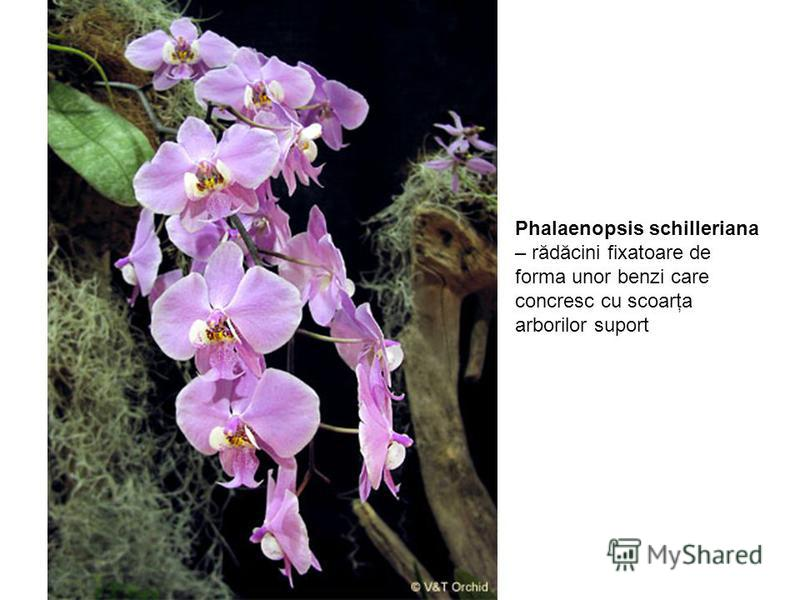 Phalaenopsis schilleriana – rădăcini fixatoare de forma unor benzi care concresc cu scoarţa arborilor suport