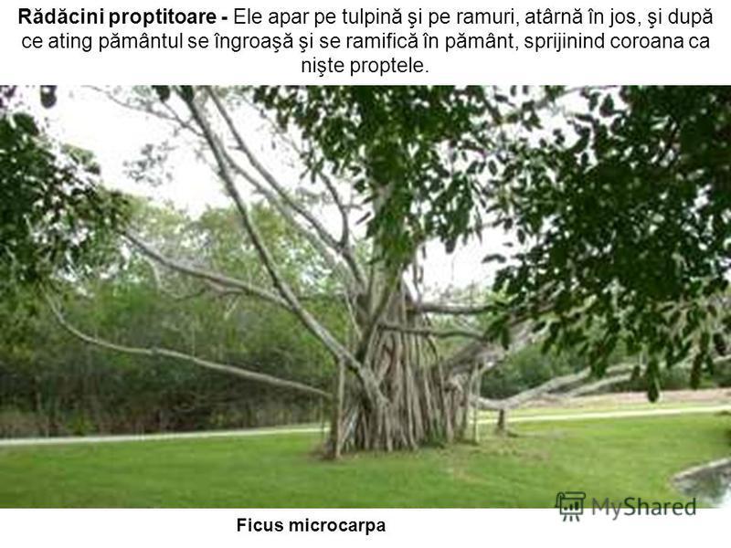 Rădăcini proptitoare - Ele apar pe tulpină şi pe ramuri, atârnă în jos, şi după ce ating pământul se îngroaşă şi se ramifică în pământ, sprijinind coroana ca nişte proptele. Ficus microcarpa
