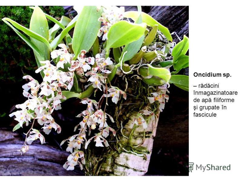Oncidium sp. – rădăcini înmagazinatoare de apă filiforme şi grupate în fascicule