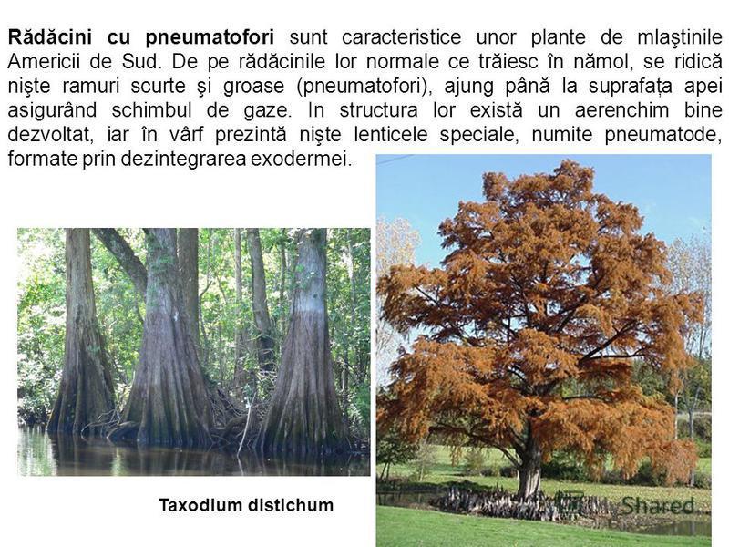 Rădăcini cu pneumatofori sunt caracteristice unor plante de mlaştinile Americii de Sud. De pe rădăcinile lor normale ce trăiesc în nămol, se ridică nişte ramuri scurte şi groase (pneumatofori), ajung până la suprafaţa apei asigurând schimbul de gaze.