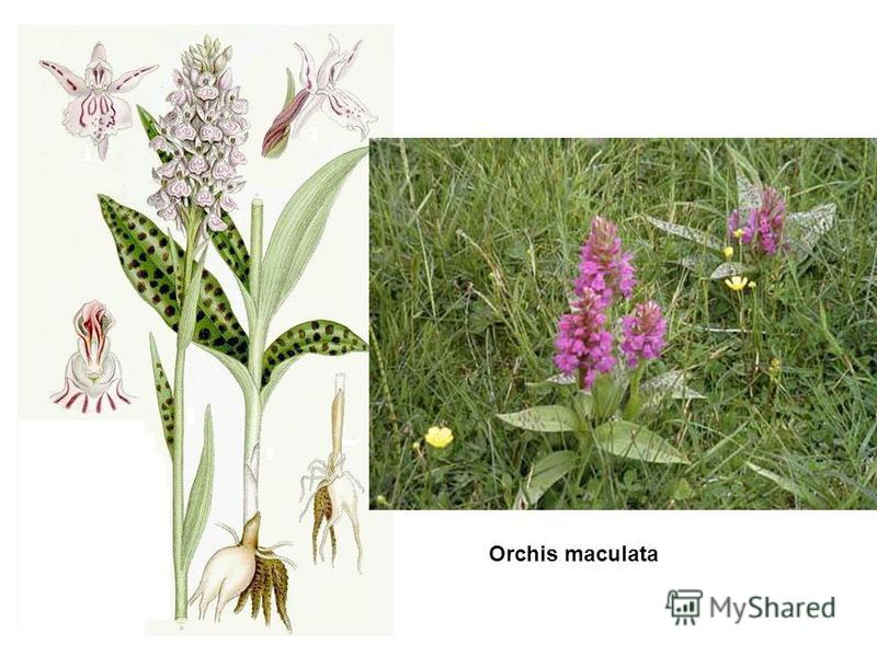 Orchis maculata