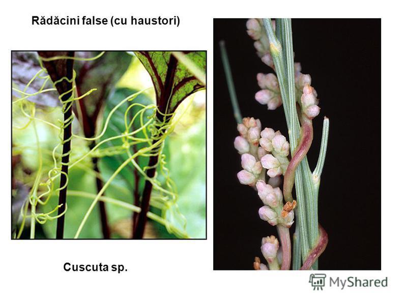 Rădăcini false (cu haustori) Cuscuta sp.