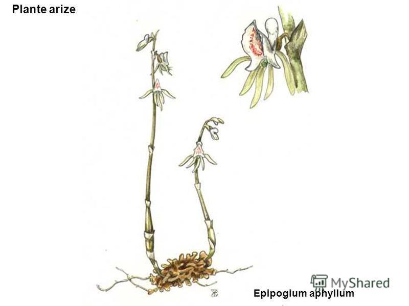 Plante arize Epipogium aphyllum