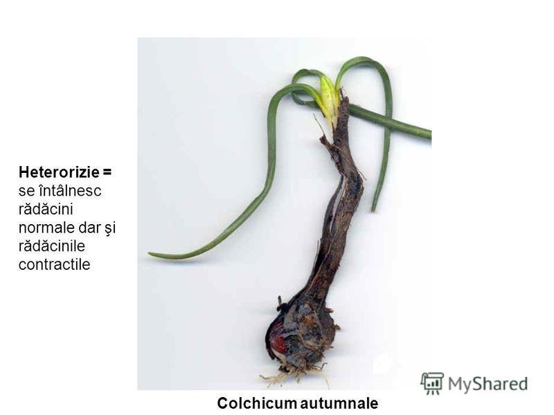 Heterorizie = se întâlnesc rădăcini normale dar şi rădăcinile contractile Colchicum autumnale