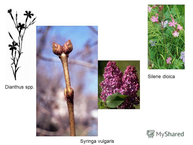 Silene dioica Syringa vulgaris Dianthus spp.