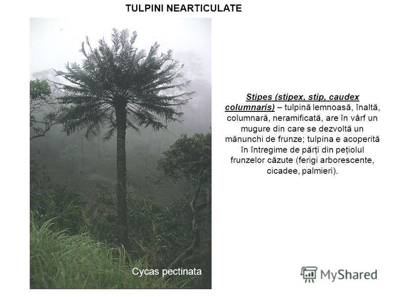 TULPINI NEARTICULATE Stipes (stipex, stip, caudex columnaris) – tulpină lemnoasă, înaltă, columnară, neramificată, are în vârf un mugure din care se dezvoltă un mănunchi de frunze; tulpina e acoperită în întregime de părţi din peţiolul frunzelor căzu