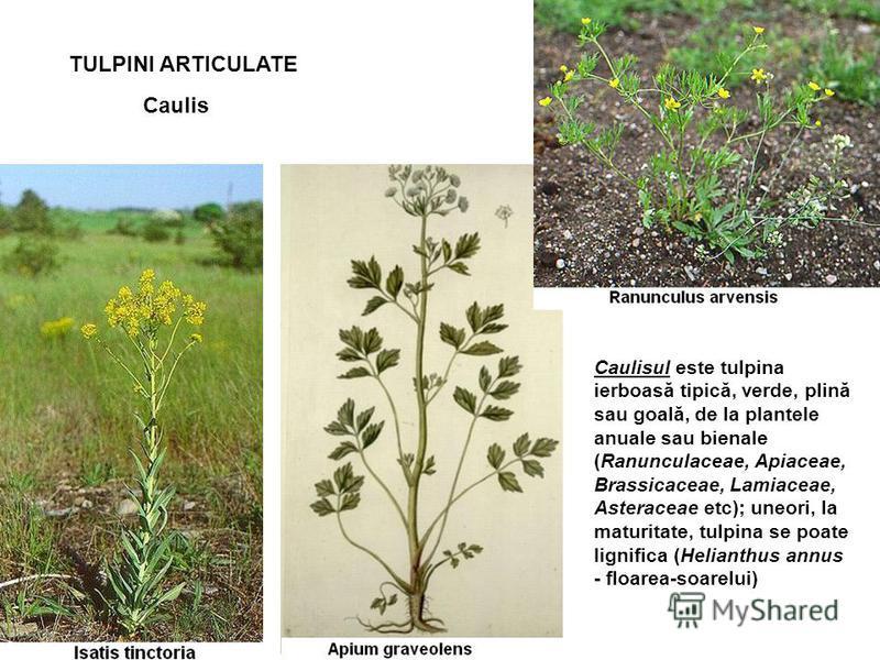 TULPINI ARTICULATE Caulis Caulisul este tulpina ierboasă tipică, verde, plină sau goală, de la plantele anuale sau bienale (Ranunculaceae, Apiaceae, Brassicaceae, Lamiaceae, Asteraceae etc); uneori, la maturitate, tulpina se poate lignifica (Helianth