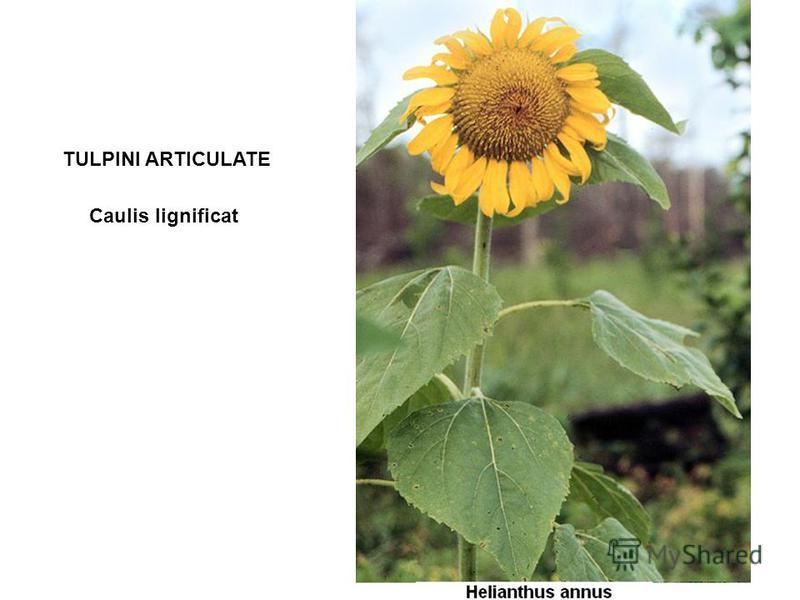TULPINI ARTICULATE Caulis lignificat